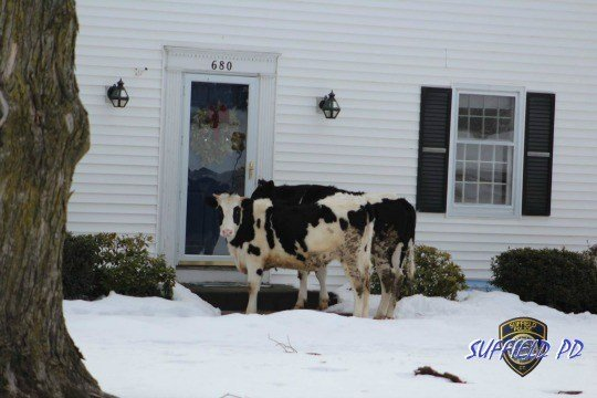 Cops Warn Of Cows Trying To Sell Dairy Products After Escape