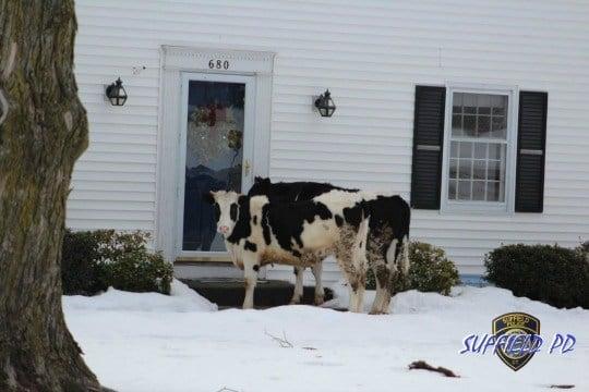 2 cows escape farm and go door to door