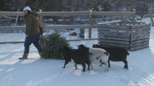 Goats at Monson farm munching on your old Christmas trees