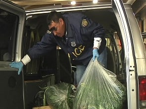 Bagged marijuana plants taken in for processing by Springfield Police