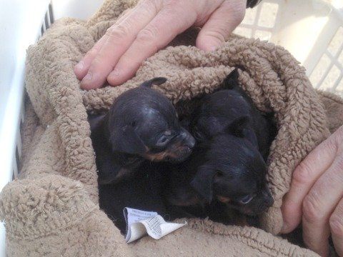 A litter of Doberman Pinscher pups.