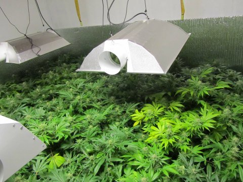 A marijuana garden was discovered at 129 Appleton St. in Springfield's Forest Park area.