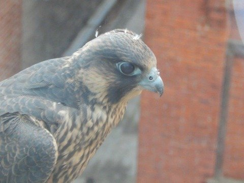 The falcon has just a few down feathers left, which can be seen on top of his head in this photo.