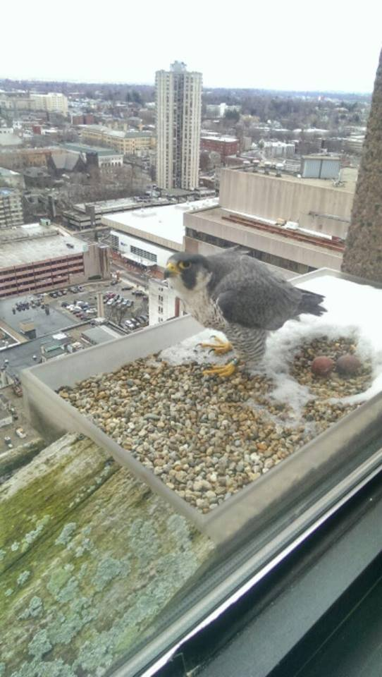 The falcon parents were first spotted at the end of March.