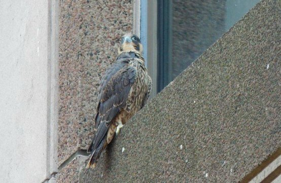 The male falcon perched on floor 5 of Monarch Place after his first flight.