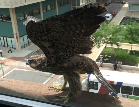 The last female falcon flew from the nest and was spotted June 19 on an adjacent building.