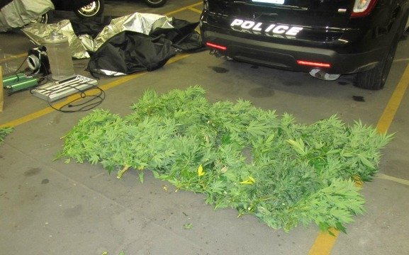 The class D marijuana grow operation Springfield police took down. (Springfield Police Department)