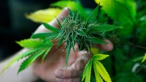 Adults over the age of 21 would be allowed to grow and posses a limited amount of marijuana. (CBS / file)